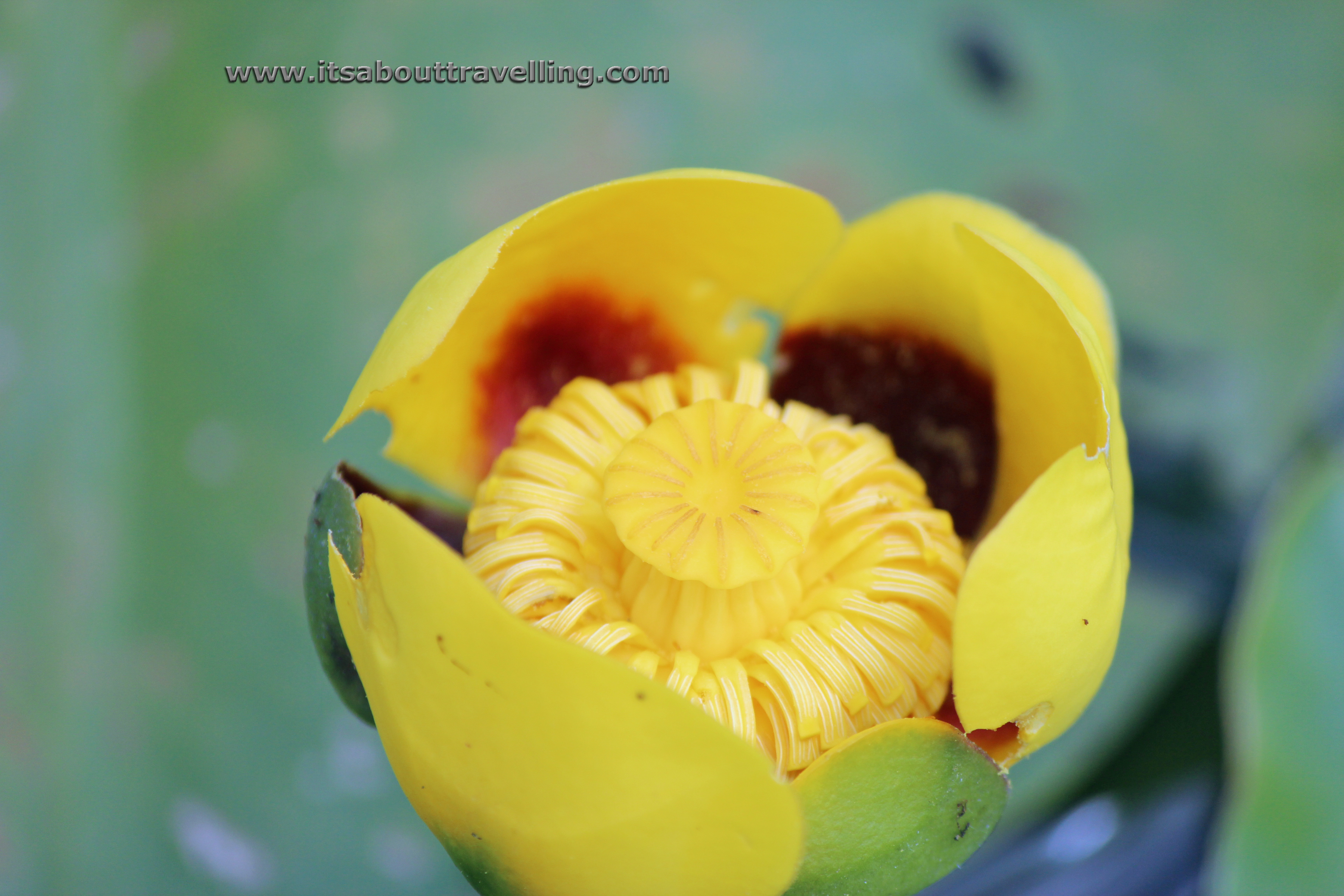 yellow water lily flower - photo #16