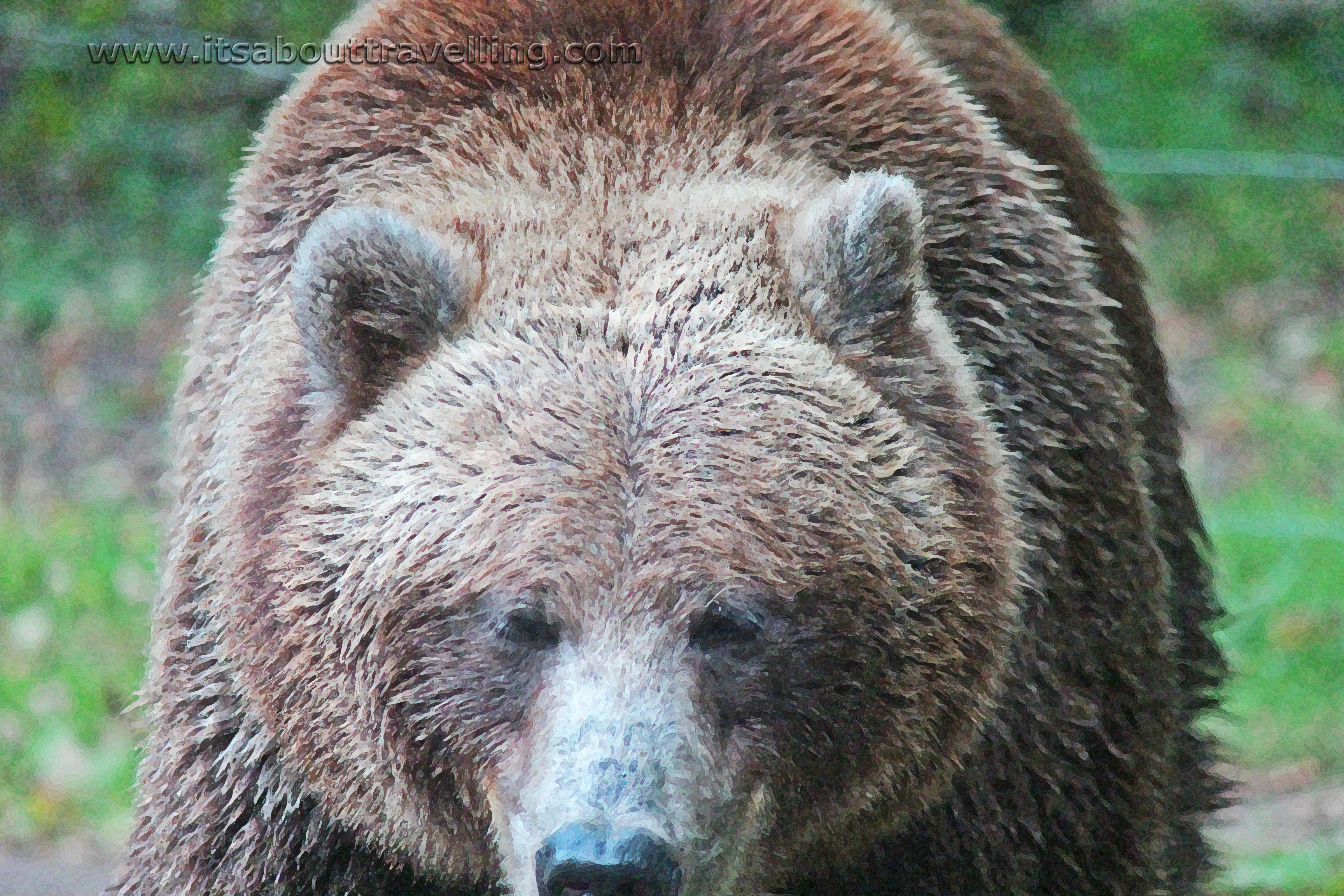 Grizzly bear at the toronto zoo pic of the day