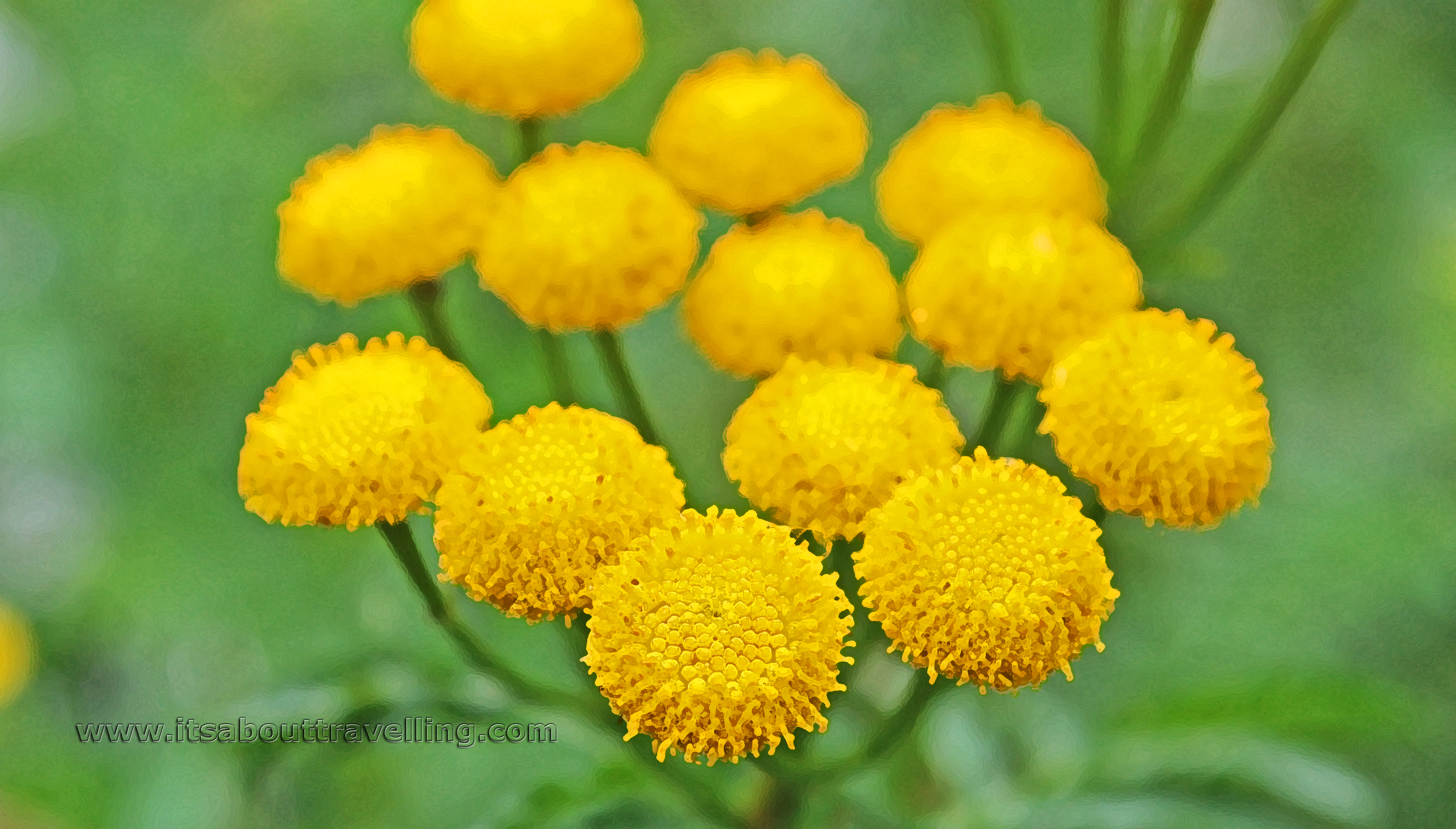 Common Tansy Weed Or Attractive Wild Flower Pic Of The Day